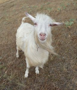 513px-Domestic_goat_smile_2009_G1