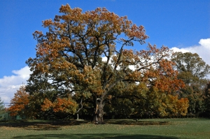 Old_oak_tree_in_Florham_Park_NJ[1]