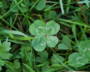 Four-leaf_Clover_Trifolium_repens_2